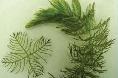 Eurasian Watermilfoil (Myriophyllum spicatum)